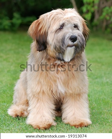 Tibetan Terrier Puppies on Terrier Puppy Isolated Tibetan Terrier ...