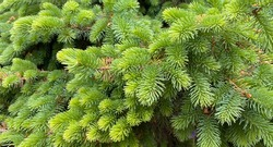 young brunches go light green European spruce, spruce needles, needle background,green wallpaper