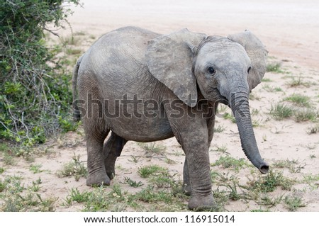 Young bull elephant smiling for the camera, Addo national park, eastern cape, South Africa