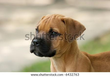 Mastiff Puppies on Young Bull Mastiff Puppy Portrait Stock Photo 6432763   Shutterstock