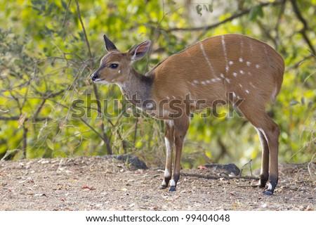 Young Bush Buck (Tragelaphus Scriptus), South Africa