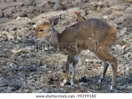 Young Bushbuck (Tragelaphus Scriptus), South Africa, with ox-pecker on back