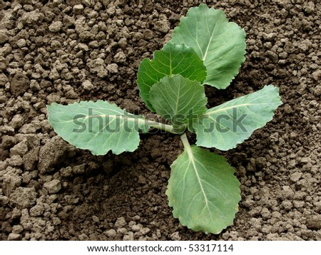 young cabbage sprout on the vegetable bed