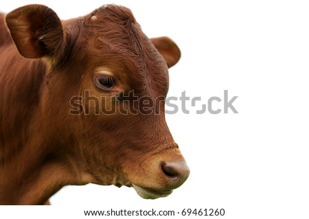 young calf against white background