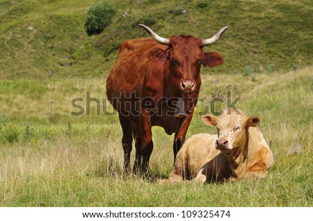 Young calf and his mother