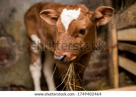 Young calf eats hay in the barn. Cute calf looks into the object. Young cow standing in the barn eating hay. Calf.