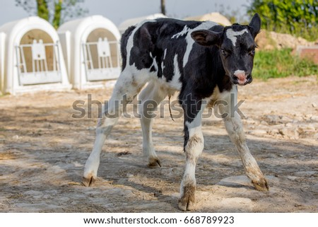 Young calf holstein in a nursery for cows in a dairy farm