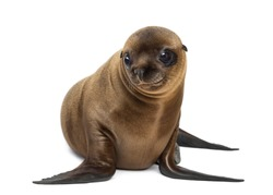 Young California Sea Lion, Zalophus californianus, smiling and looking away, 3 months old against white background