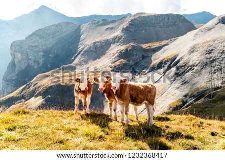 young calves on an alp in the swiss mountains, switzerland #1232368417