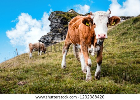 young calves on an alp in the swiss mountains, switzerland #1232368420