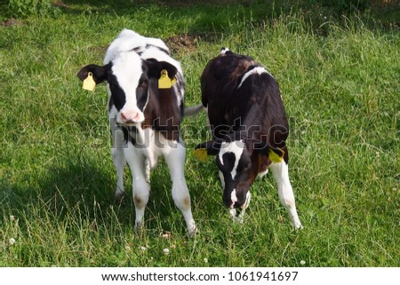 Young calves  with green grass on a summer day