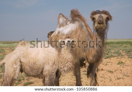 young camel and adult female camel against the background desert steppes of Kazakhstan