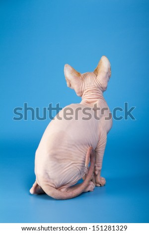 Young canadian sphinx cat on a blue background