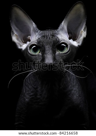Young canadian sphynx cat looking at the camera on black background