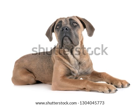young cane corso in front of white background #1304045773