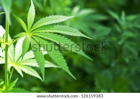 Young cannabis plant marijuana plant detail