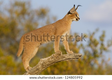 Young Caracal (Felis caracal) in South Africa high up on a dead branch looking alert.