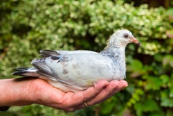 Young carrier pigeon sitting on male hand outdoors