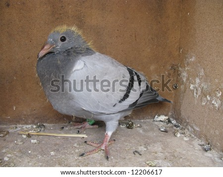 Young carrier pigeons,  the homing pigeon is a variety of domestic pigeon derived from the Rock Pigeon (Columba livia domestica) selectively bred to find its way home over extremely long distances