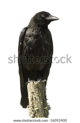 Young Carrion Crow - Corvus corone (4 months) in front of a white background