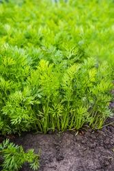Young carrot plants row in vegetable garden