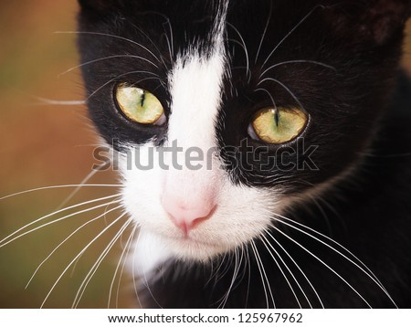 young cat, black and white,  close-up