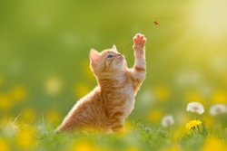 Young cat / kitten hunting a ladybug with Back Lit