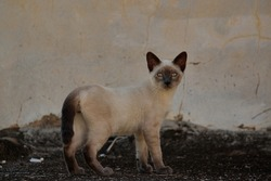 young cat of the Siamese breed, standing on a rustic surface, with piercing green eyes, looking directly at the camera, with the peculiar feline curiosity.