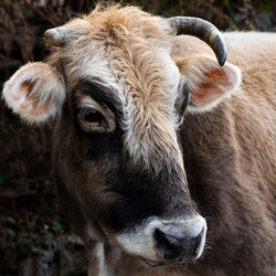 Young cattle with a beautiful muzzle. Close-up of the head of a thoroughbred bull