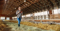 Young Caucasian woman using tablet device and walking in farm stable. Female farmer tapping and scrolling on gadget computer in shed. Technology in farming. Sheep flock on background.
