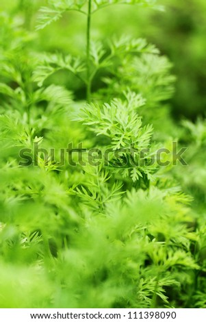 young celery at field - stock photo