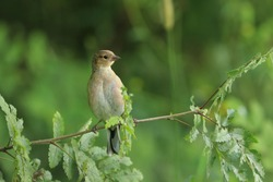 Young chaffinch, Fringilla coelebs, songbird sitting on the tree twig. little bird in nature forest habitat, Wildlife scene from nature.