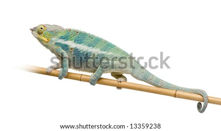 Young Chameleon Furcifer Pardalis - Ankify (8 months) in front of a white background