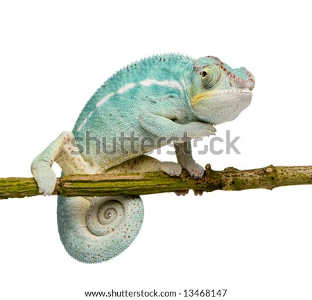 Young Chameleon Furcifer Pardalis - Nosy Be (7 months) in front of a white background