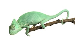 Young chameleon isolated on white