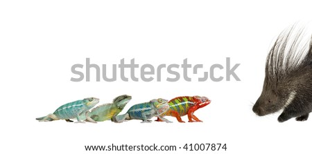 Young Chameleons, Furcifer Pardalis, and Ankify, 8 months old, walking towards each other in front of a white background