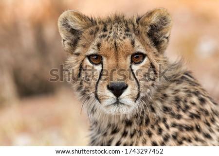 Young cheeta, Acinonyx jubatus, jonge Jachtluipaard  Stockfoto ©