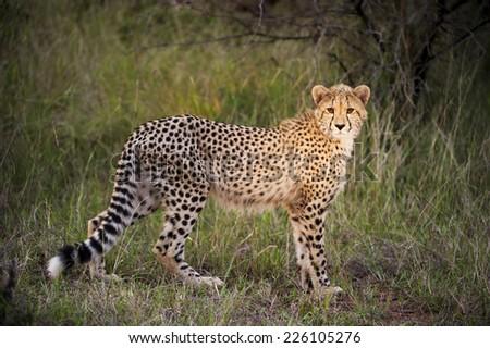 young cheetah #226105276