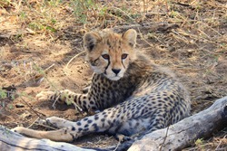 young cheetah at serengeti, tanzania