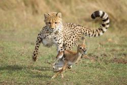 Young Cheetah cub chasing a baby Thompson's Gazelle learning to hunt Masai Mara Kenya