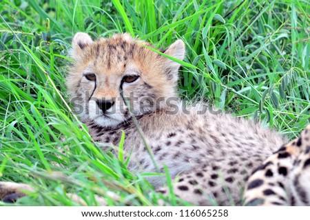 Young cheetah cub in long grass
