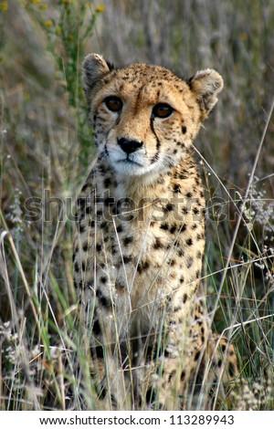 Young cheetah cub in long grass, looking at the camera, Namibia