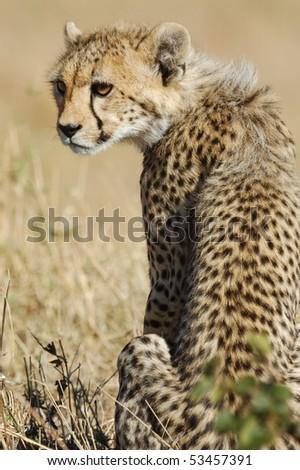 Young cheetah in the Masai Mara National Park, Kenya