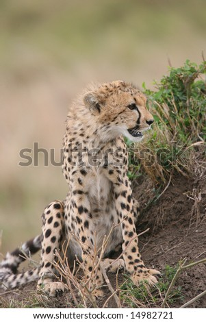 Young Cheetah on a mound