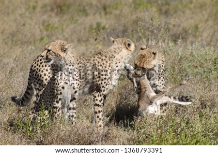 young cheetahs killing a baby thompson gazelle