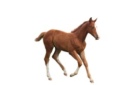 Young chestnut foal running free at the pasture