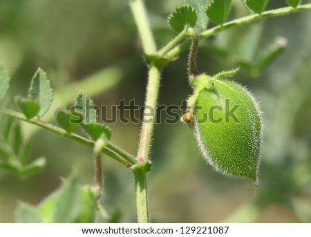 Young chick-pea pod in chickpea plant