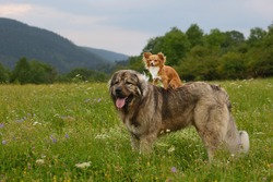 young chihuahua dog with caucasian shepherd