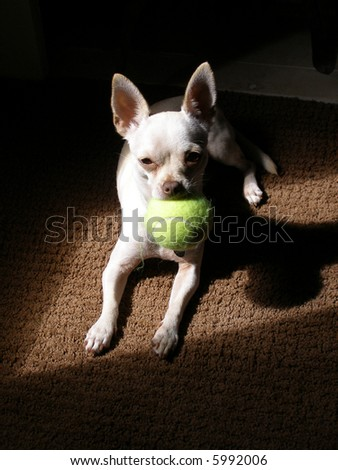 Young chihuahua with tennis ball.