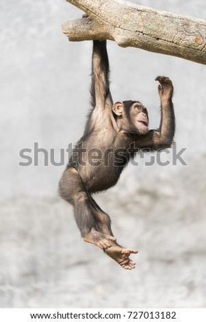 Young Chimpanzee dangling from a branch single handed